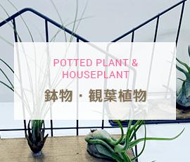 大阪府 堺市駅前の花屋 フラワーショップ花治 POTTED PLANT & HOUSEPLANT 鉢物・観葉植物